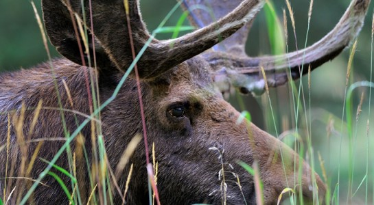 Piney Lake Moose - by Doug Mayhew | Madographer