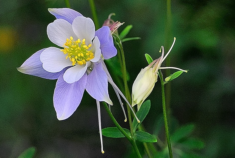 Colorado Columbine one in Bold Bloom one in Bashful Waiting Image
