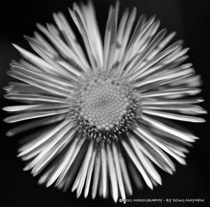 Simple Beauty Great Detail Black and White Wildflower by MADOGRAPHER | Doug Mayhew