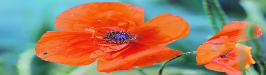vibrant oriental poppy Image