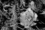 colorado prickly pear cactus - flowering in black & white