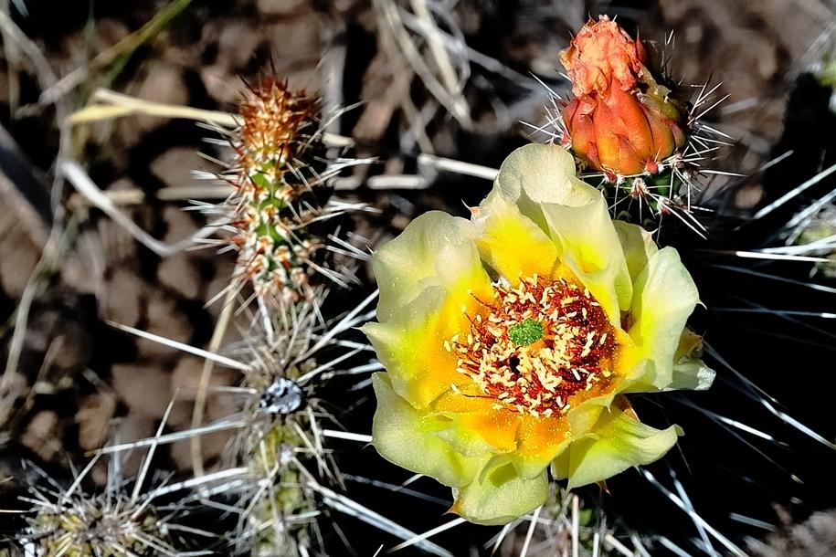 colorado prickly pear cactus flowering in color Image
