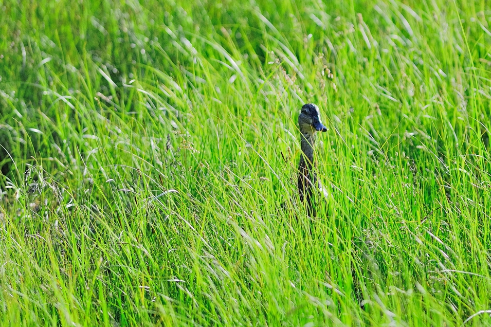 Lost-In-Green-Lucky-Duck_DAM5434_002WP_MADOGRAPHY-Original-Image-Capture_by-MADOGRAPHER-Doug-Mayhew_06242011.jpg