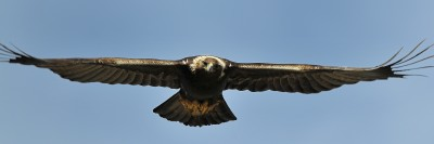 Supreme Flight Golden Eagle Greatness