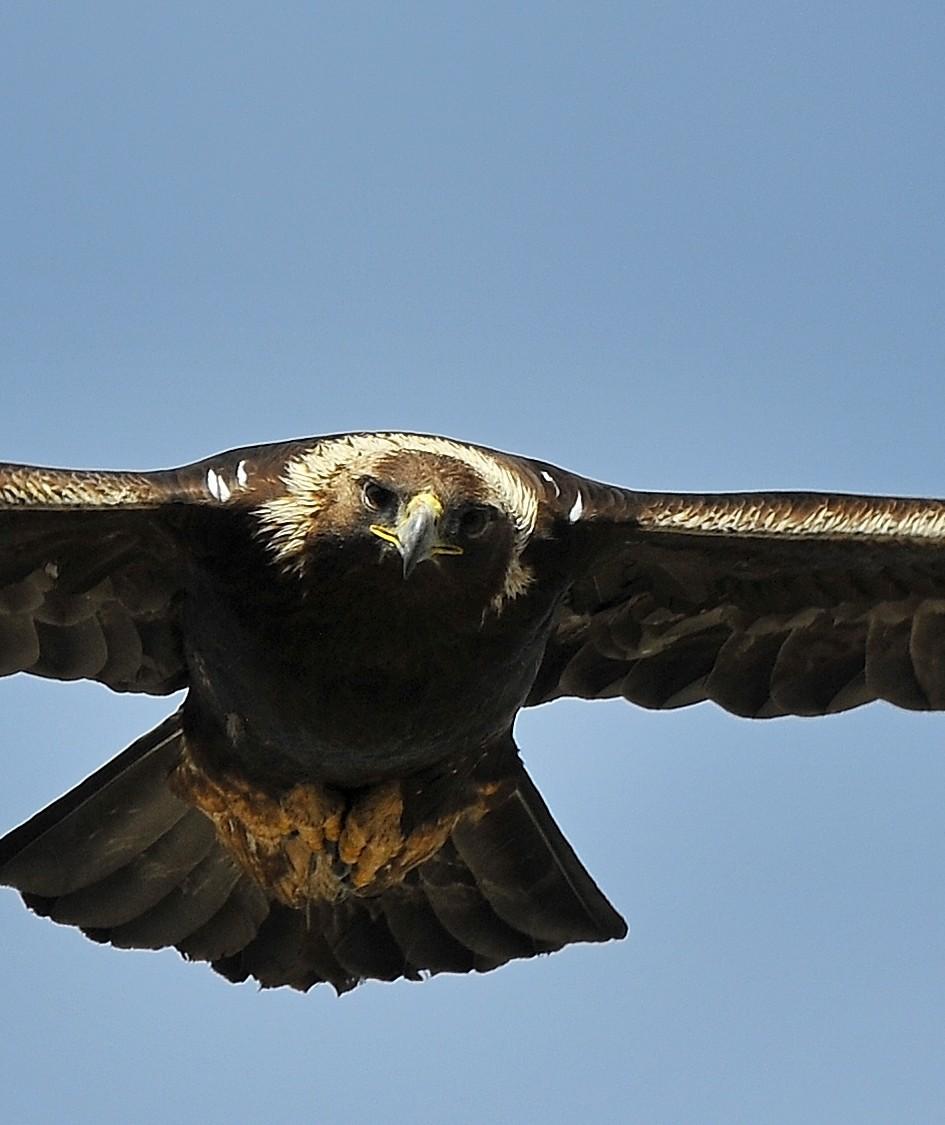 Supreme Flight Golden Eagle Greatness Upper Colorado