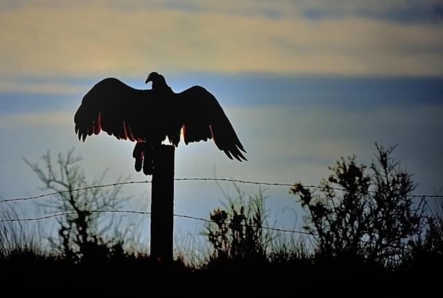 Turkey Vulture Morning Sun on the Colorado River Outside McCoy Colorado