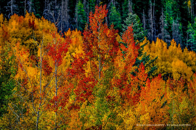 Phoenix Rising Rocky Mountain Autumn Fire