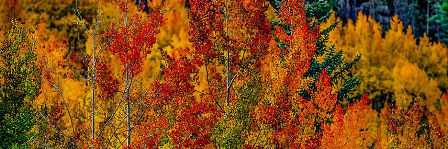 Phoenix Rising Rocky Mountain Autumn Aspen Afire - MADOGRAPHY by Doug Mayhew | Madographer
