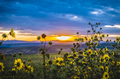 Colorado Sunrise Over Rocky Mountain Wild Sunflowers